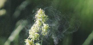 imagen de polen cayendo de una flor